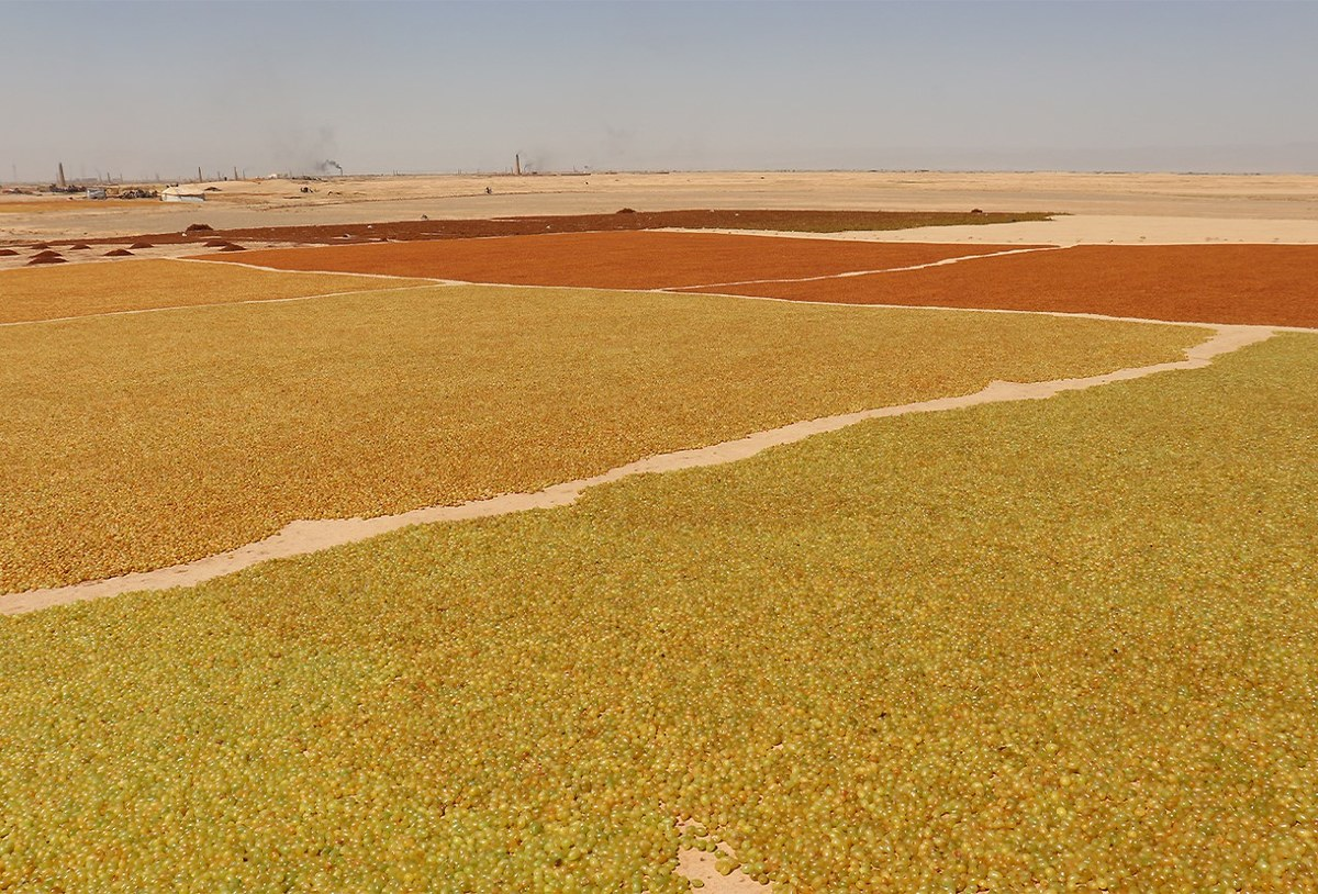 Grapes are spread out on the ground to dry in the sun at a vineyard in Saranan, Pishin, Balochistan. (AN Photo)